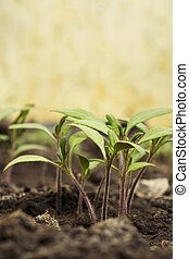 the tomato sprout
