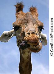 the tongue! - a giraffe showing its tongue