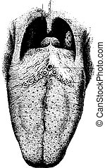 The tongue showing papilla, vintage engraving.