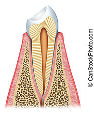 the tooth - Anatomy of a healthy tooth