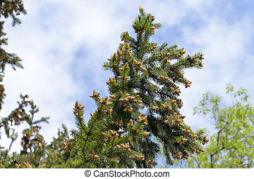 young tree spruce