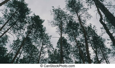 The tops of Christmas trees, pine forest in the summer...
