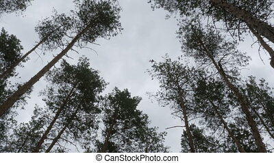 The tops of Christmas trees, pine forest in the summer swaying in the wind