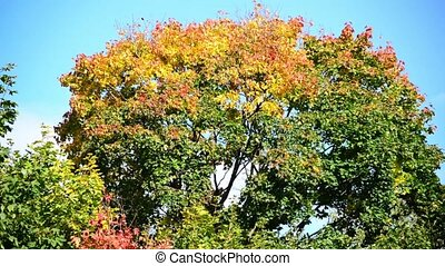 The tops of maple with orange leaves swaying in wind