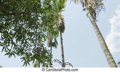 The tops of palm trees on the alley in the park.