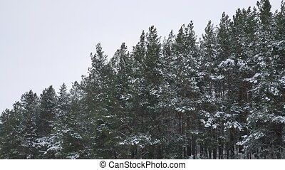 the tops of pine christmas tree nature trees in the winter snow landscape