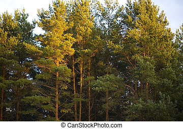 The tops of pine trees at sunset