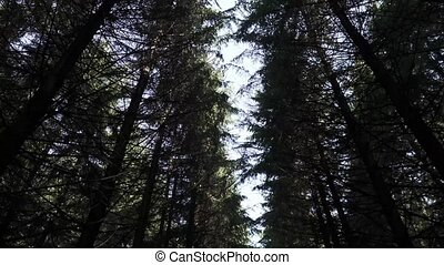 The tops of tall fir trees