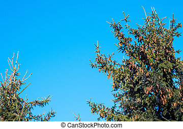 The tops of tall fir trees strewn with a large number of cones against the blue sky.