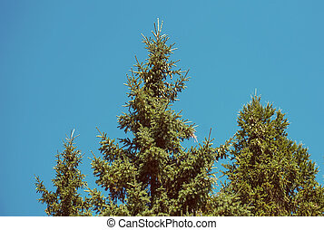 the tops of the fir trees
