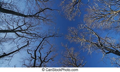 the tops of the oaks in winter