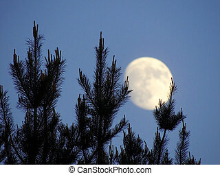 The tops of the pine trees on the background of the growing ...