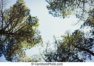 The tops of the pines trees