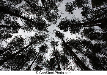 The tops of trees in a pine forest.