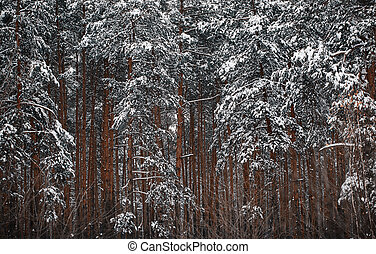 the tops of trees in the winter forest