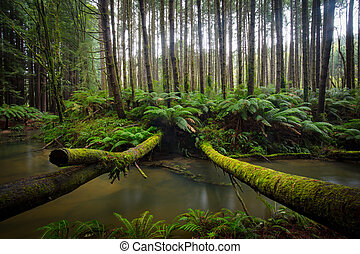 The tranquil Californian Redwood Forest in Cape Otway, Victoria, Australia