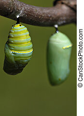 The transformation - A monarch caterpillar wiggles in its...