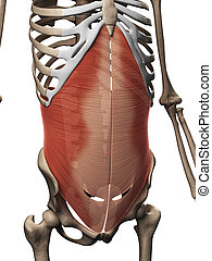 The transversus abdominis muscle - 3d rendered illustration...