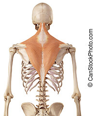 The trapezius - medical accurate illustration of the...