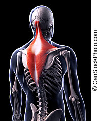 The trapezius muscle - 3d rendered illustration of the...