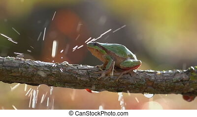 The tree frog crawls on a branch in the rain. (Slow motion)