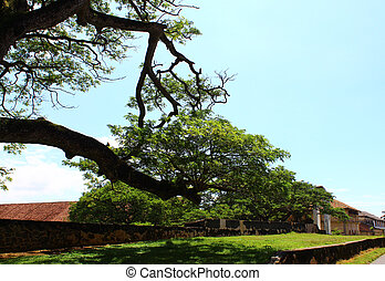 The tree in Galle Fort