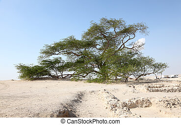 The Tree of Life in the desert of Bahrain, Middle East