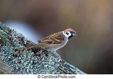 The Tree Sparrow (Passer montanus)