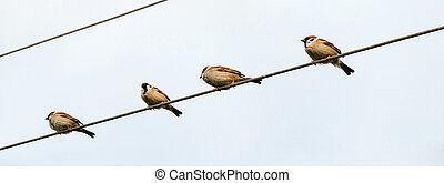the Tree Sparrows (Passer montanus)