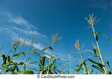 The trees of corn against blue sky