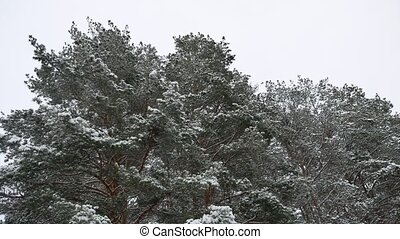 the treetops of pine forest christmas tree nature snow...