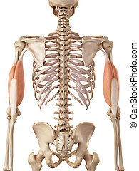 The triceps - medical accurate illustration of the triceps