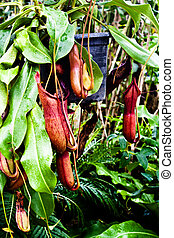The Tropical pitcher plant (nepenthes)