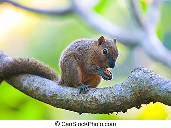 The tropical squirrel on a branch of a tree with a nut