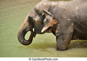 Elephant - The trunk can hold about four litres of water....