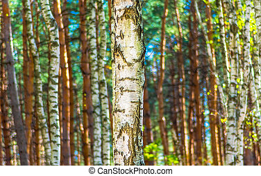 The trunk of a birch in autumn forest