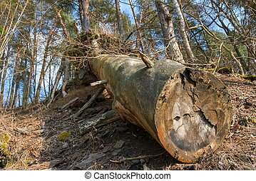 The trunk of a large old pine lying on the ground