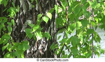 The trunk of birch trees and leaves