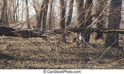 The trunk of dry, wind-fallen tree