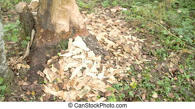 The trunk of the tree is eaten by the beaver