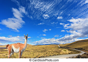 The trusting guanaco - small camel