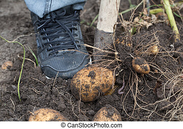 The tubers of potatoes lying in the ground