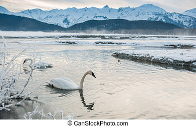 The tundra swans (Cygnus columbianus) swim in the freezing river.