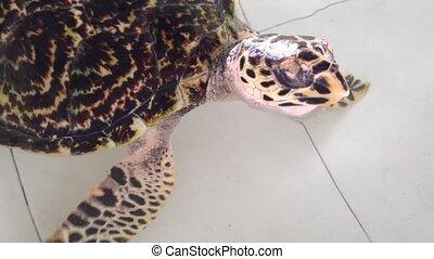 The turtle sea swimming
