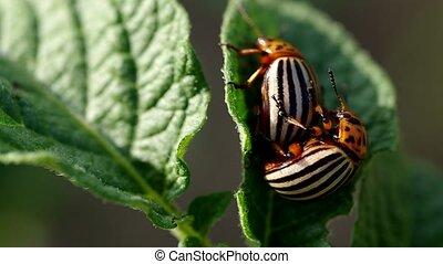 The two colorado beetles mating - Colorado beetles -...