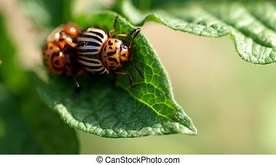 The two colorado beetles mating - Colorado beetles -...