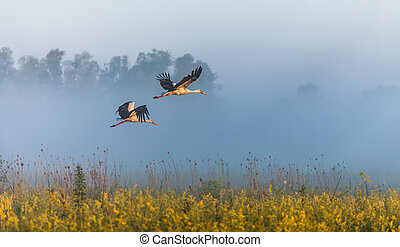 The two storks fly over a field.