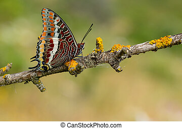 The two-tailed pasha or foxy emperor butterfly charaxes...