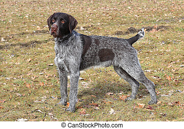 The typical Bohemian wire-haired Pointing Griffon - The ...