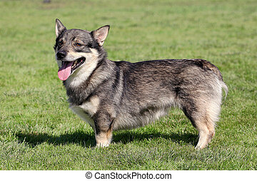 The typical Swedish Vallhund in the garden